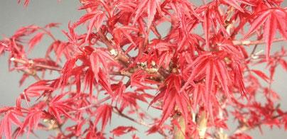 Leuchtend roter Blattaustrieb eines Fächerahorn Acer palmatum deshojo