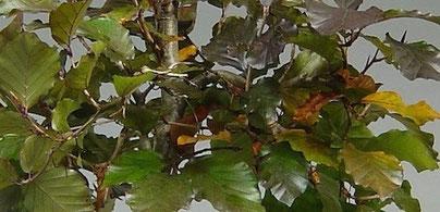Blätter von einer Blutbuche, Fagus sylvatica purpurea