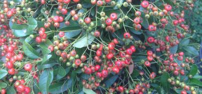 Früchte eines Feuerdorn, Pyracantha im Spätsommer