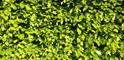 Blätter von einer Rotbuche, Fagus sylvatica