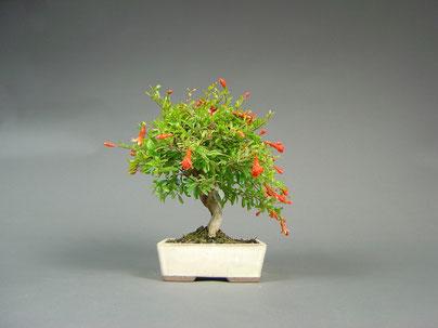 granatapfel punica granatum bonsai. Black Bedroom Furniture Sets. Home Design Ideas