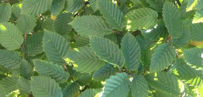 Blätter von einer Hainbuche, Carpinus betulus