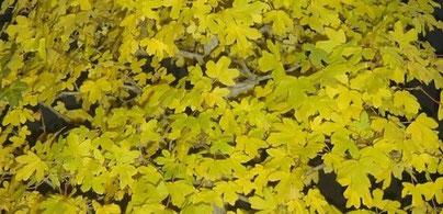 Acer campestre / Feldahorn, Maßholder Herbstfärbung