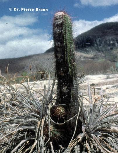 Orthophytum horridum & Coleocephalocereus purpureus, Itinga 1987