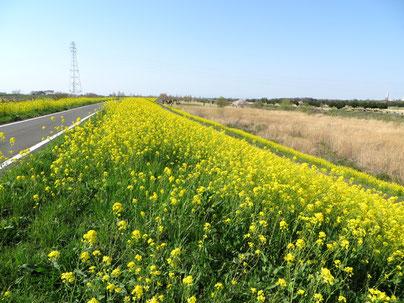荒川サイクリング 菜の花