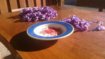 récolte pistils rouges fleurs de safran biologique fraîchement récolté au petit matin