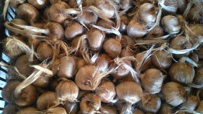 caja de bulbos de azafrán
