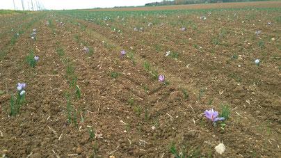 campo de azafrán plantado con flores rosas