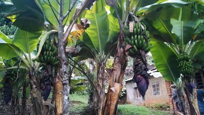 Bananen wachsen in Tansania im Garten, hier in Gonja