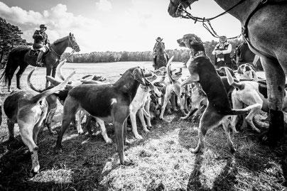 Die Foxhounds der Mecklenburger Meute. Foto: Klaus Dieter Baumgart