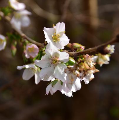 裾野さくら〜11月に咲き誇る珍種