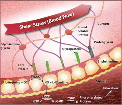 Endothelial cells, Shear Stress