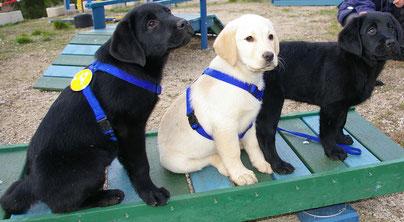 Futurs chiens guides nés au CESECAH