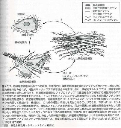 筋線維芽細胞分化の2つの状態