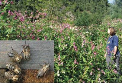 Bienen mit Ralleystreifen