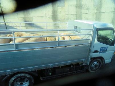 市場へ運ばれていくブタたち。知多半島道路にて。