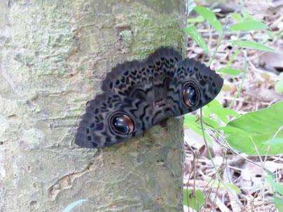 樹幹に静止するヨコヅナトモエ。