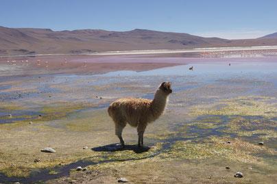 Lanuna Colorada: Lamas, Flamingos und ein farbenprächtiger See