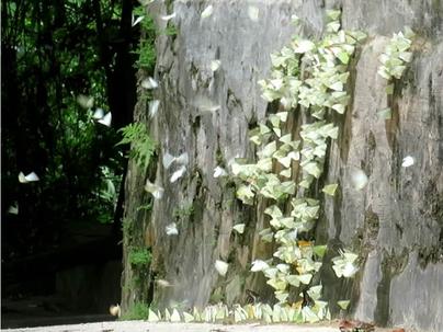 コンクリートの壁に群がるカワカミシロチョウほか。