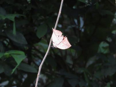 森の忍者コノハチョウ。