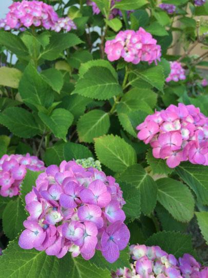 美しく咲いたアジサイ 日本の梅雨には無くてはならない景色だ