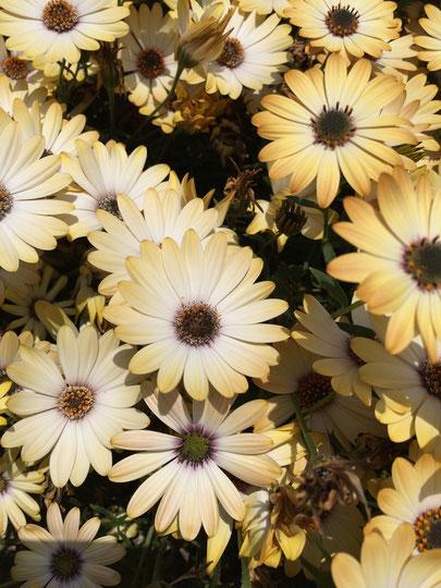 ケッタで通勤している時に見慣れない植物を見つけたので例の方法で調べてみました