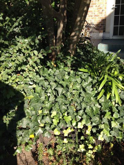 弊社のメインツリーであるシマトネリコの下に植栽されたヘデラ