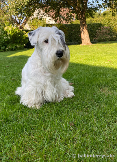 Smilla - Dudwell Glamour Girl Godiva - Sealyham Terrier