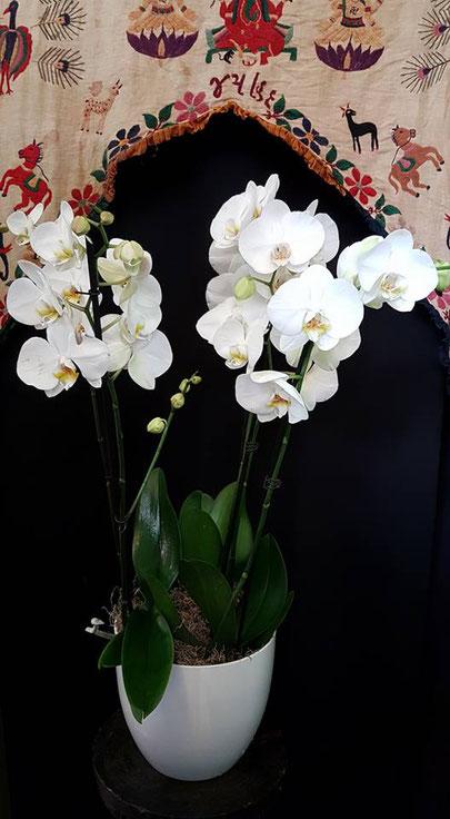 3 Orquídeas phalaenopsis con macetero blanco  ref 3OP150917  PVP 115€