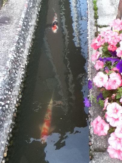 鏝絵ロードには美しい鯉が泳いでいます。