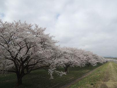 素晴らしい桜並木です。