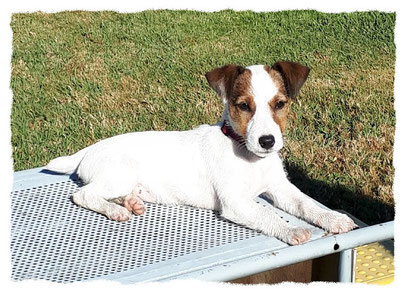 Jack Russel Terrier à l'école pour chiots à Dax