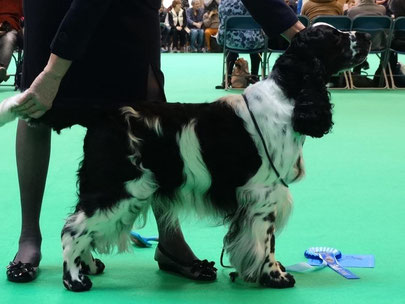 "Plaiglen Hustle ""Echo"" - 2nd Open Dog (Vater I-Wurf) - Foto: Kay Woodward"