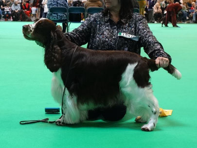 "Peasblossom Jester ""Rafferty"" - 3rd Open Dog  (Vater D-Wurf)  - Foto: Kay Woodward"