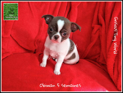 Chiot Chihuahua . Chihuahua mâle chocolat et blanc