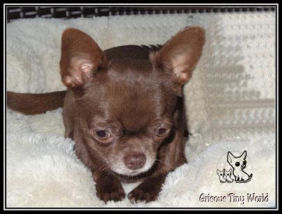 Photo d'une jeune femelle Chihuahua chocolat