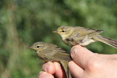 (c) Dave Lutgen on the left a juv. Chiff Chaff ( Phyll collybita) and on the right an ad. Willow Warbler (Phyll. trochilus)