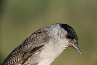 (c) Dave Lutgen Blackcap ( Sylvia atricapilla ) first captured in 2006, so the bird has got 8 years