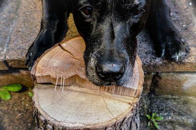 Hundekopf auf Baumstamm abgelegt mit Akupunkturnadeln