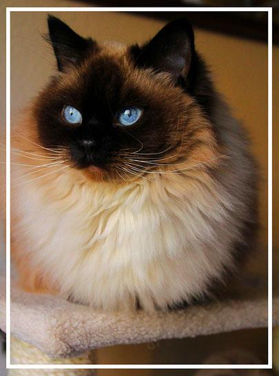 Ragdoll  Nelly  von der Bismarckquelle seal colourpoint