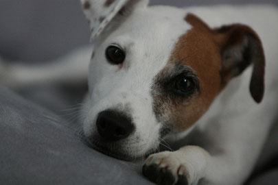 Ein Hund blickt in die Kamera. Er hat braun-weißes Fell, braune Augen und eine schwarze Nase.