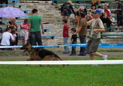 Нарния Штольц Фатерланд(Конан из Дома Димона-Нэмби фон Нордэн)-победительница класса щенков на всепородной и монопородной выставках,лучший щенок нем.овчарки,2-е место на Бэсте щенков.