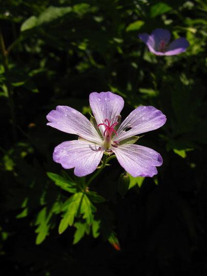 花弁の先端が3裂するのでイブキフウロの可能性あり?