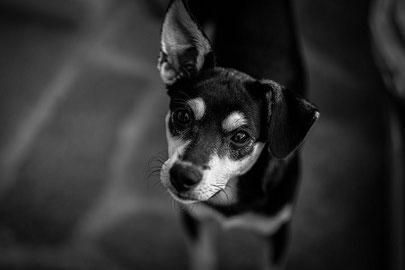Supprimer la taxe, pas les chiens