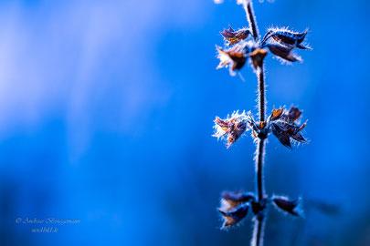 Winter lights_2   blau, blue, Blumen, Eis, flowers, forest, Frost, ice, Licht, light, Wald, Winter