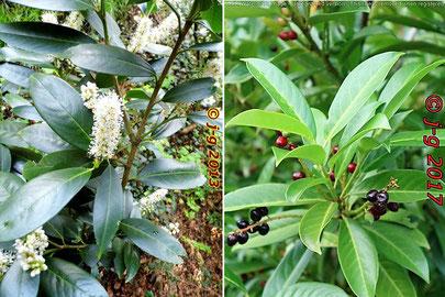 Lorbeerkirsche  links Blüte - rechts Frucht