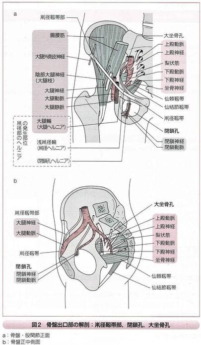 骨盤出口部の解剖