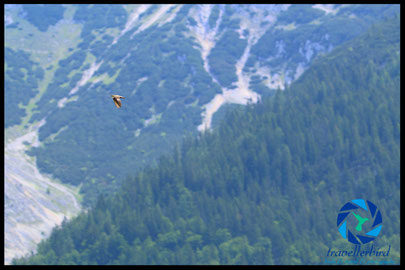Crag martin Felsenschwalbe im Flug