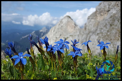 spring gentian on a mountain top