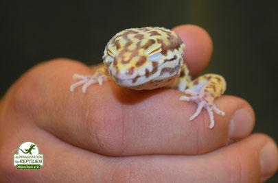 Leopardgecko Albino Bell